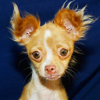 Phoebe – This wee hobbit lassy is a 1 year old Long Hair Chihuahua